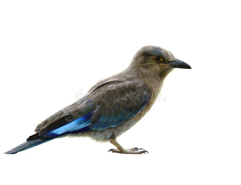 Young Indian roller & x28;Coracias benghalensis& x29; op jonge leeftijd met een grijze en blauwe plumage geïsoleerd op witte acht royalty-vrije stock afbeeldingen