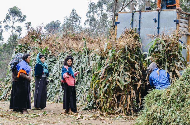 Young indigenous women collecting raw sugar cane plants from a plantation to sell in the market. Tungurahua, Ecuador - Dec 20, 2017: Young indigenous women royalty free stock images