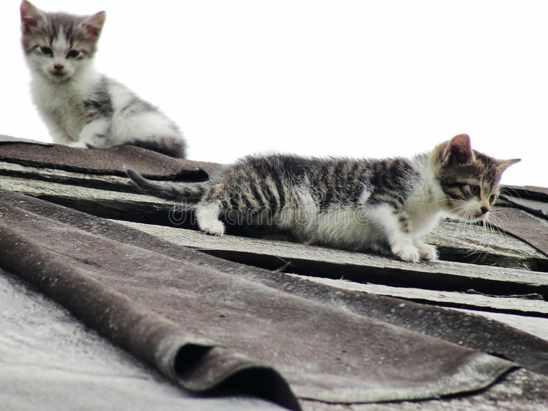 Young inexperienced shy wild kittens on the roof of an old rustic barn. A pair of pitiable homeless small cats. royalty free stock image