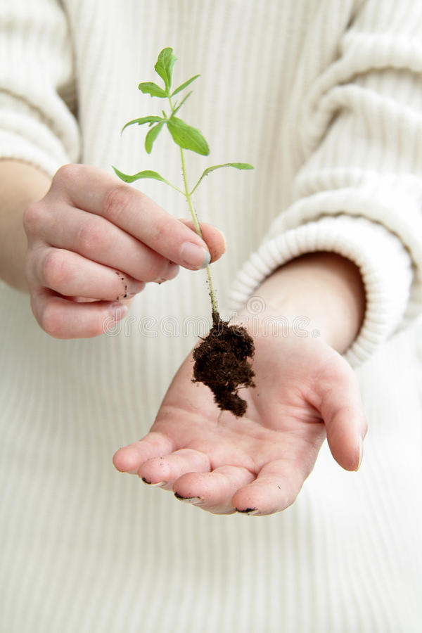 Young innovative growing business. Young green plant with roots in human hands stock images