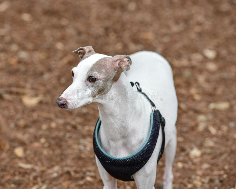 Young Italian Greyhound Puppy playing in the dog park royalty free stock image