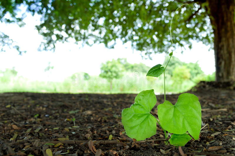 Young ivy gourd. Growing under tamarind tree royalty free stock photography