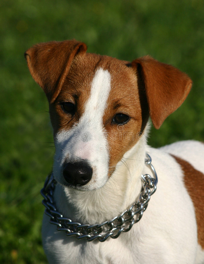 Young jack russel stock photos