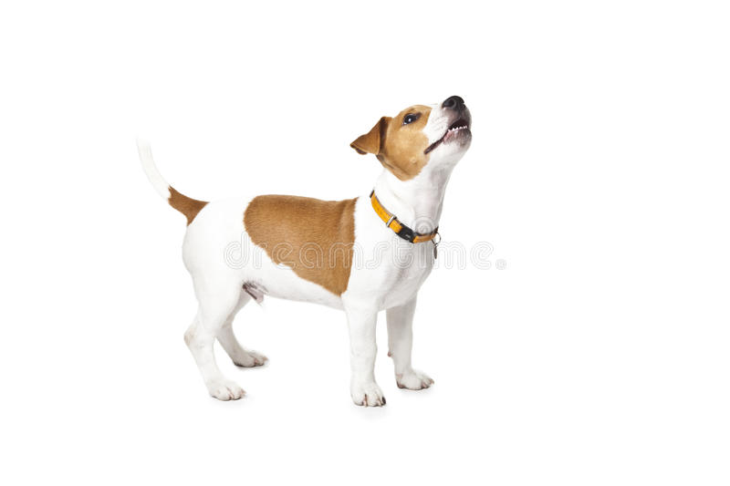 Download Young Jack Russell Dog stock photo. Image of breed, shot - 26657184