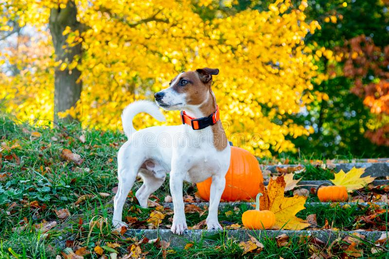 Young Jack Russell Terrier dog near a pumpkin stay on stairs. In autumn season park stock photos