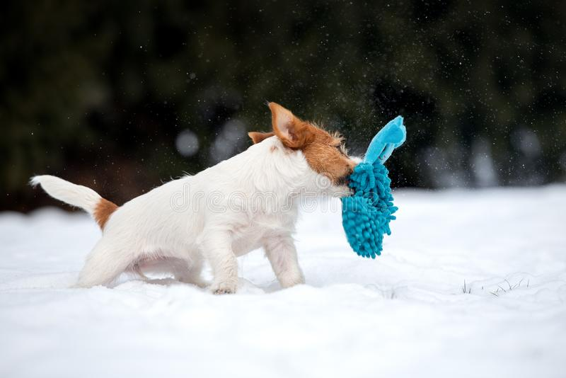 Jack russell terrier puppy playing outdoors in winter. Young jack russell terrier puppy outdoors stock photography