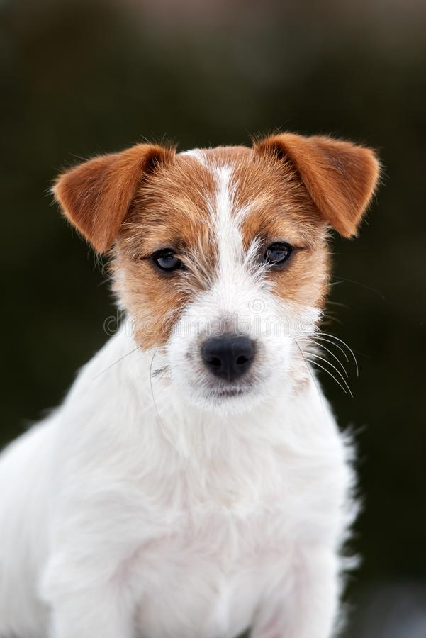 Jack russell terrier puppy posing outdoors. Young jack russell terrier puppy outdoors royalty free stock photo