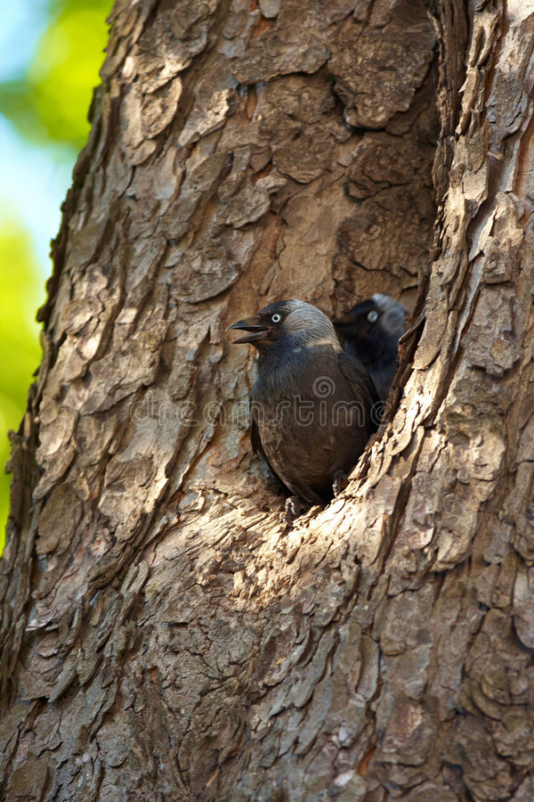 Free Young Jackdaws Stock Photo - 6341920