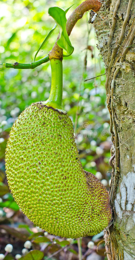 Download The young Jackfruit. stock image. Image of gourmet, bright - 24577013