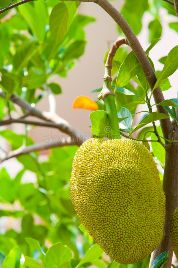Young jackfruit on tree. A young jackfruit on tree royalty free stock image