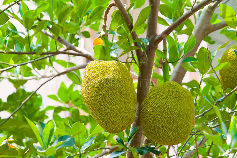 Young jackfruit on tree. A young jackfruit on tree stock image
