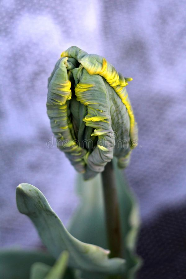 Young jagged tulip plant with dark to light green fully closed tepals with yellow edges surrounded with pointy elongated leaves. On warm spring day royalty free stock photo