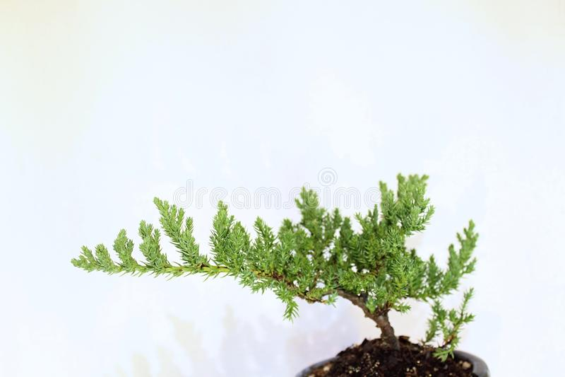 Young Japanese Bonsai Tree in Akadama Soil Mix stock photography