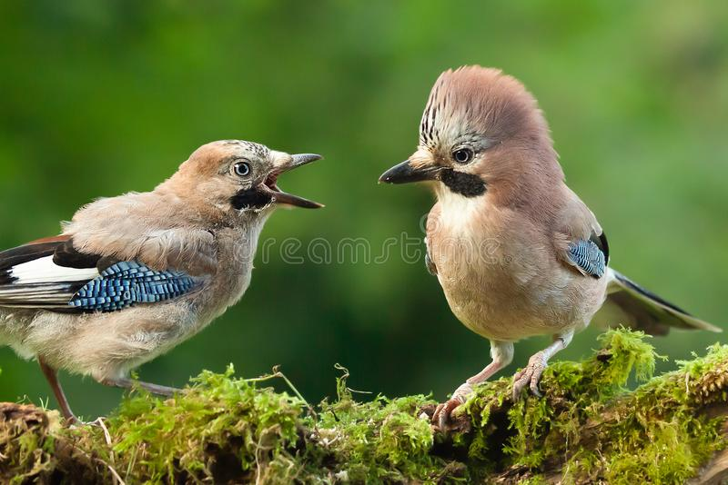 Young jay bird with parent close up. Jay bird parent with young chick wanting food, close up on a moss covered log in a woodland scene stock photos