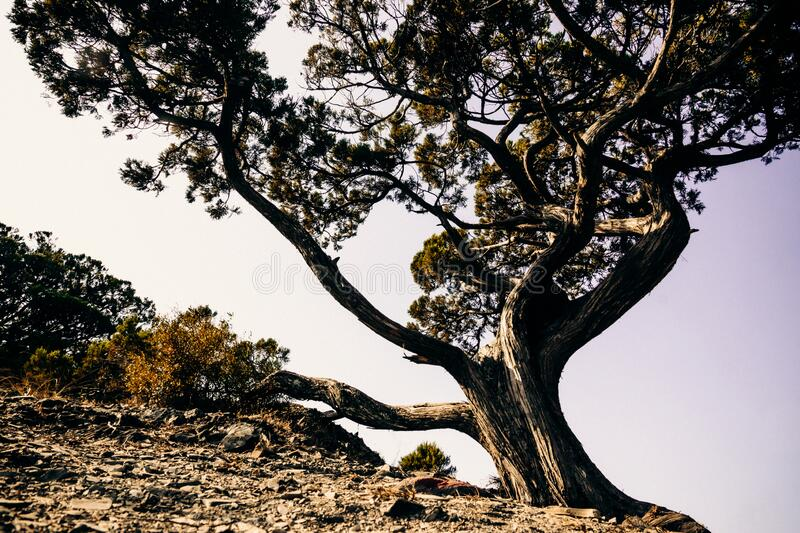 Juniper tree. Young juniper tree grows on a rocky rock against a white sky royalty free stock image