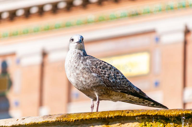 Young Juvenile Seagull Larus Argentatus or the European herring gull on a fountain. It is a large gull up to 65 cm long. One of royalty free stock photos