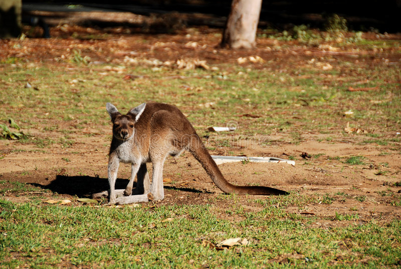 Download Young kangaroo stock photo. Image of single, free, brown - 6979516