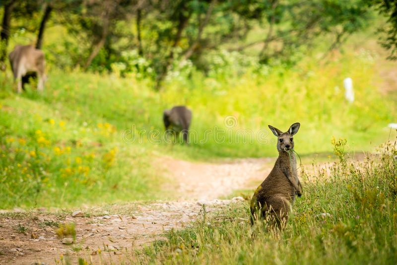 Young kangaroo eating on a trail in Australia stock photos