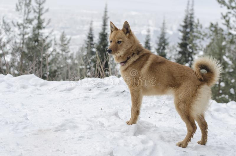 Young Karelo-Finnish Laika dog with tail ring staying on the hill in the winter forest stock image