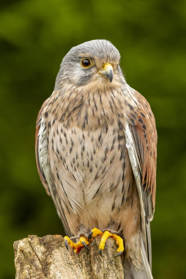 Young kestrel sat close up. Young kestrel bird sat on a wooden tree stump close woth yellow beck and speckled feathers royalty free stock image