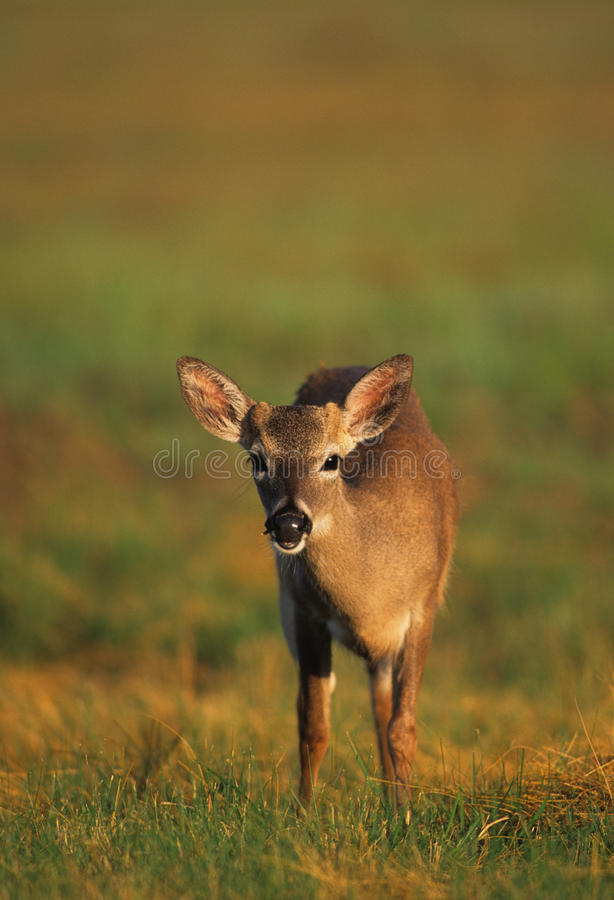 Young Key Deer stock images