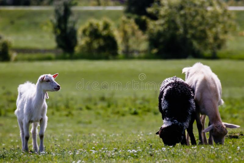 Young kid goat with friends on the meadow stock photos