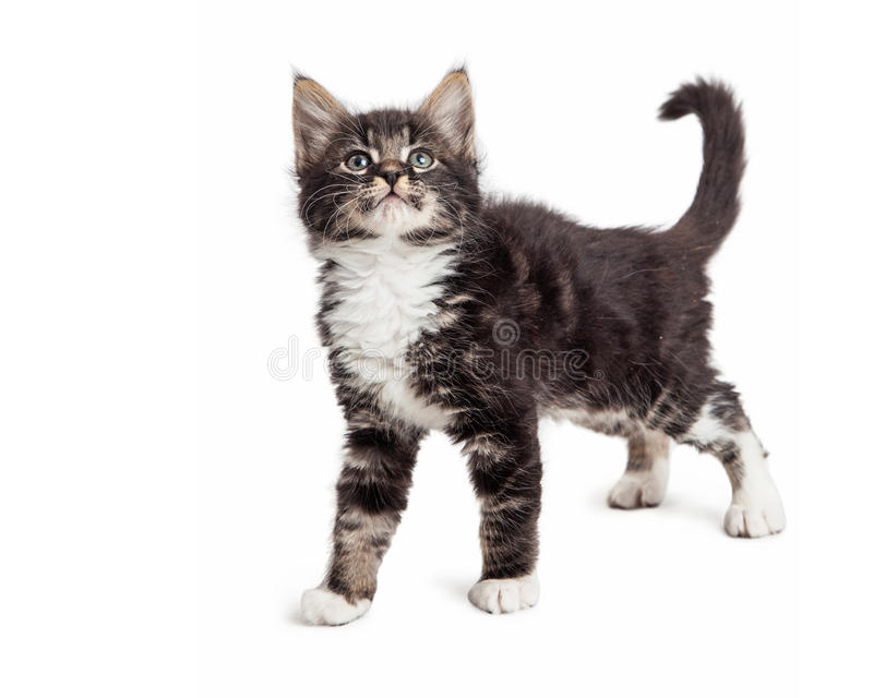 Young Kitten Over White Side View stock photos
