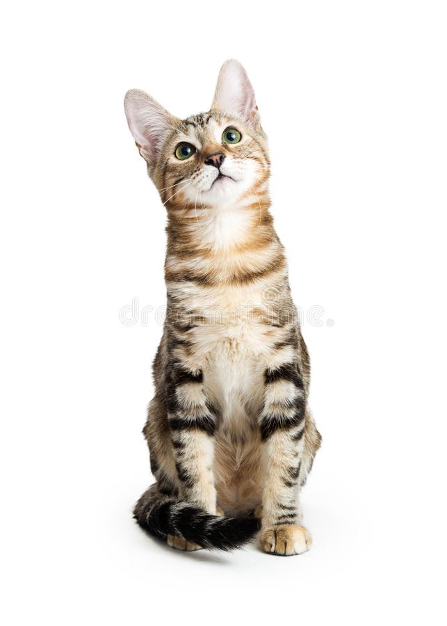 Young Kitten Sitting on White Looking Up royalty free stock photography