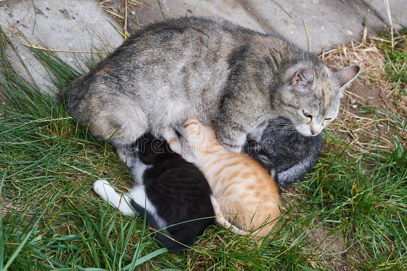Young kittens. Cat mother while feeding her kittens stock images