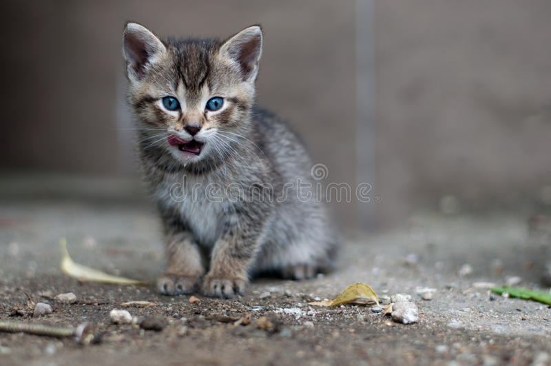 Download Young kitty licks her lips stock image. Image of milk - 32013843