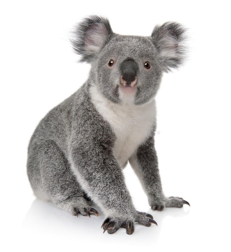 Young koala, Phascolarctos cinereus, 14 months old stock images