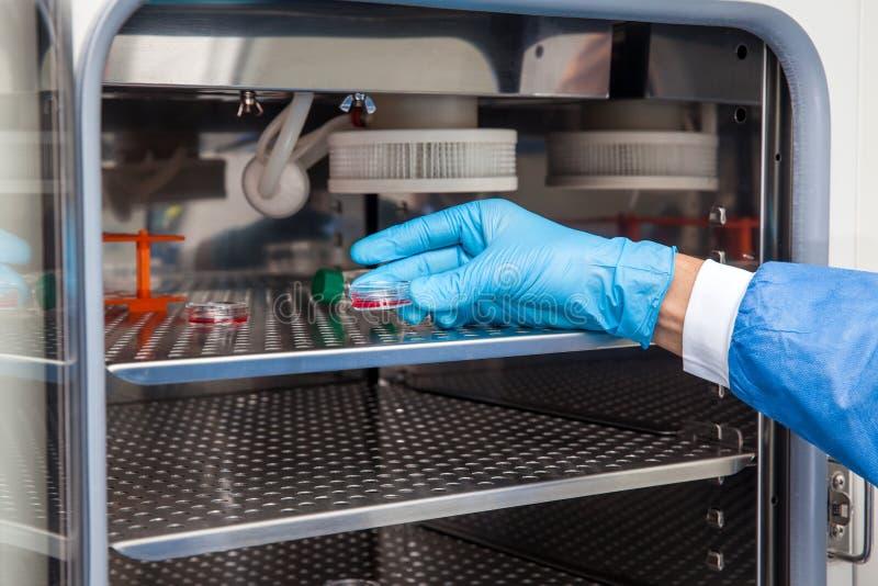 Researcher introducing a petri dish into an incubator stock photography