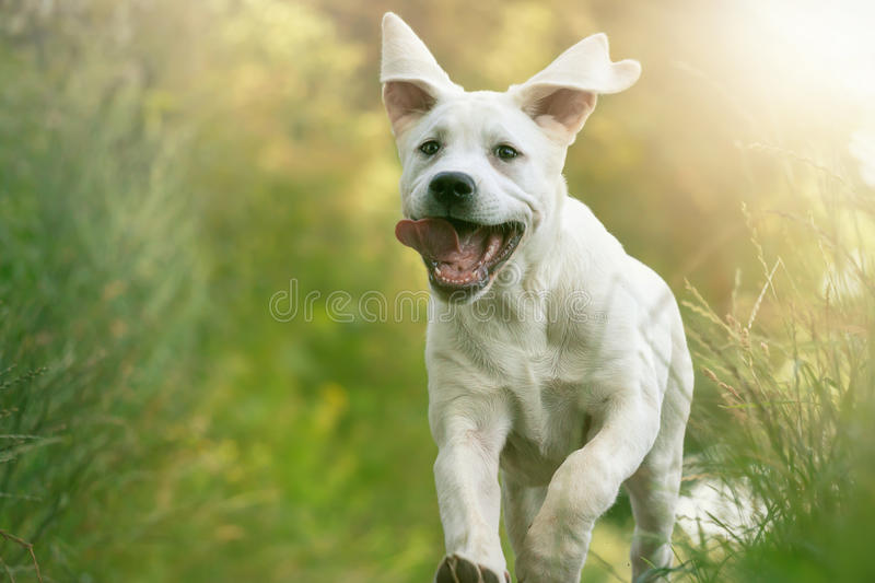 Young Labrador dog puppy runs with his tongue hanging out royalty free stock photos
