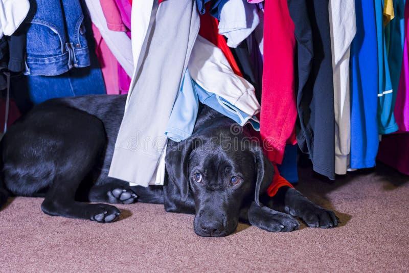 Young labrador hiding under a clothes rack. Cute young female black labrador seeking safety and comfort under a clothes rack stock image