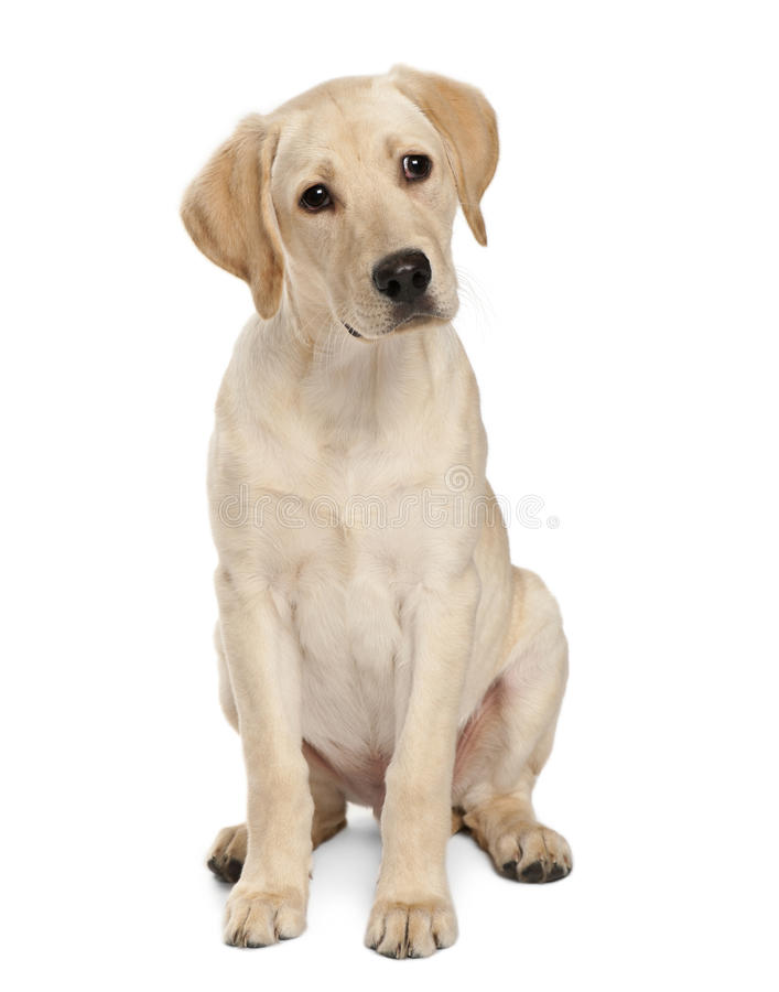 Young Labrador Retriever, 4 months old. In front of a white background stock image