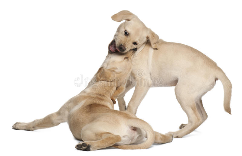Young Labrador Retriever, 4 months old. In front of white background stock photo