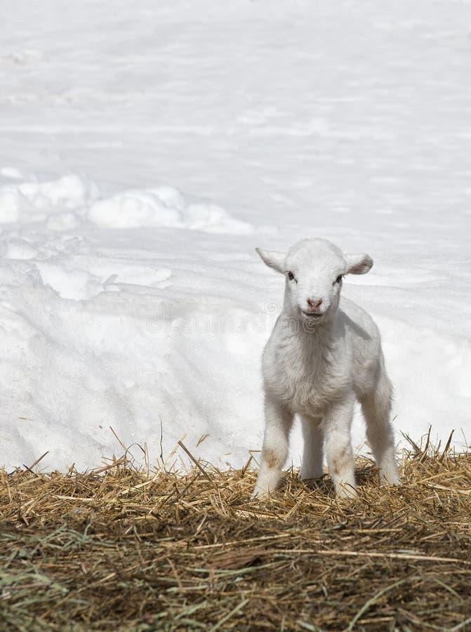 Free Young Lamb Stock Photos - 30939733