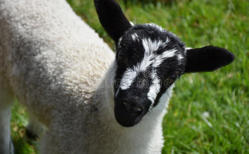 Young Lamb with a Black and White Mottled Face. Cute beulah speckled face lamb with a black and white mottled face stock photo