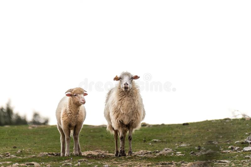 Young lamb and its mother standing on a pasture stock photo