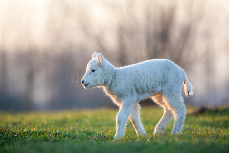 Download Young lamb stock photo. Image of beauty, lamb, white - 37070510