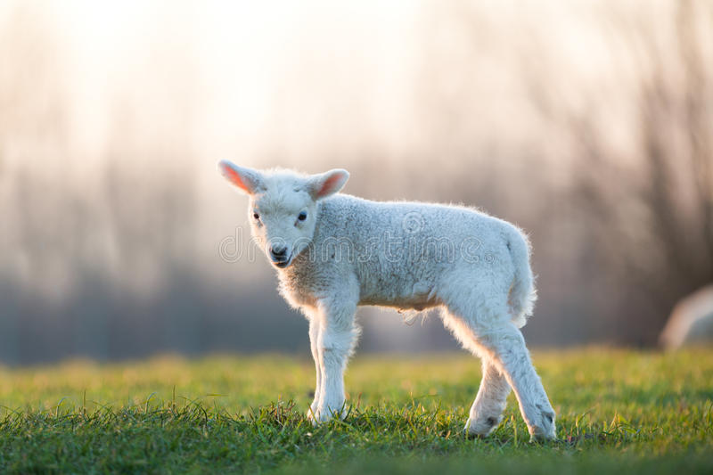 Download Young lamb stock photo. Image of wild, cute, landscape - 37070592