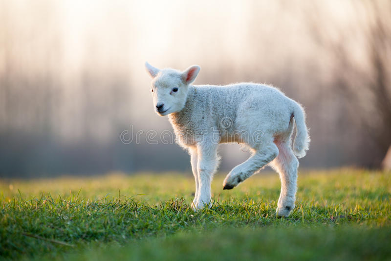 Young Lamb Stock Photography