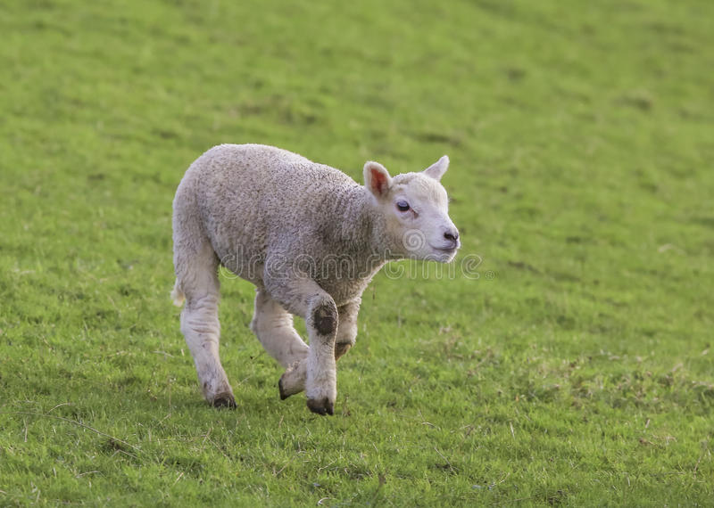 Download A Young Lamb Stock Photo - Image: 83703543