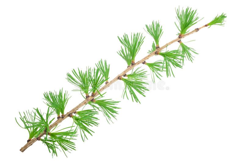 Young larch branch royalty free stock images