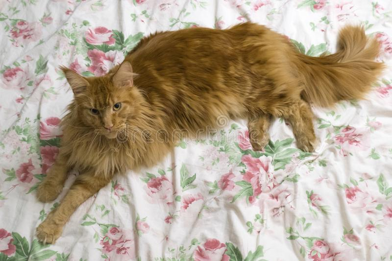Young large red marble Maine coon cat lies on a white blanket with flowers. Red fluffy cat. A young large red marble Maine coon cat lies on a white blanket with royalty free stock photos