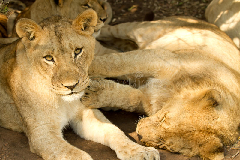 Young lazy lions stock photography