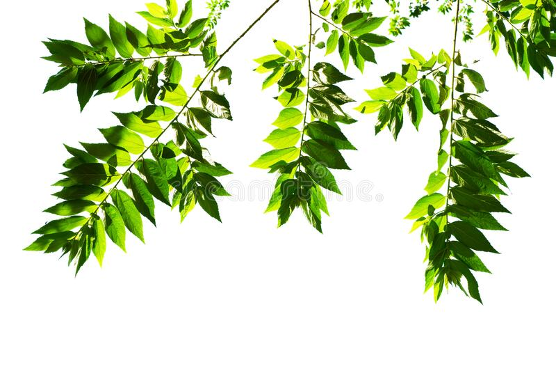 Young leaf view of a tree top on a white background.  royalty free stock photo