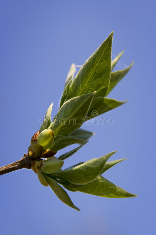 Young leaves royalty free stock photography