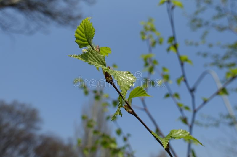 Young leaves of birch against blue sky royalty free stock photography