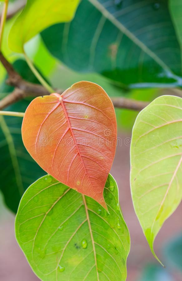 Young leaves on bo tree (ficus religiosa), the symbol of Buddhism. Red and green leaves. stock image